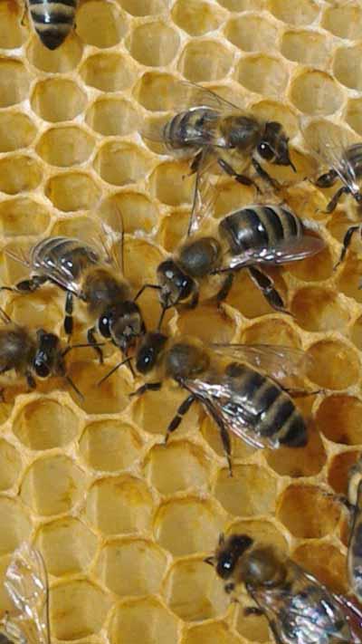 пчелы и мёд
